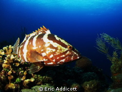 Nassau Grouper, Roatan, Honduras, Canon S95 by Eric Addicott 